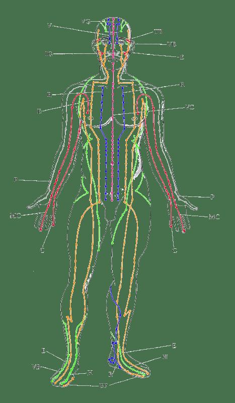 Meridians, canals per on circula l'energia vital segons la Medecina Tradicional Xinesa